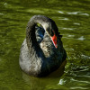 Death of Park Black Swan